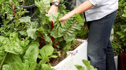 Chú ý chăm sóc cho rau trồng trong thùng xốp